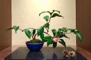 椿(西王母)の盆栽