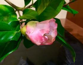花のアップ。このぐらいの咲き具合で落ちてしまうことも・・・