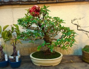 ザクロの盆栽