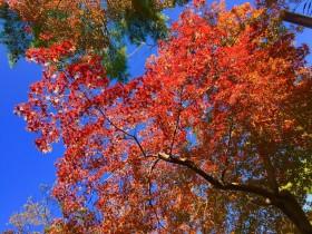 青い空と真っ赤なモミジのコントラストが、本当に美しいです