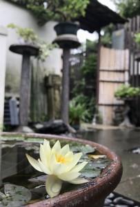 清香園では今、姫スイレンがきれいな花を咲かせています^^