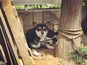 とはいえ日中の暑さに番犬マロさん(黒柴♂)は無表情になっていました。