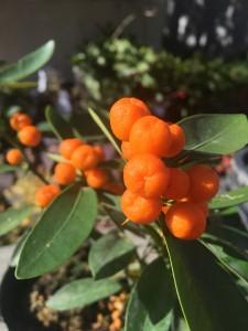 こちらは柑橘類の仲間「キンズ」 だいぶ色づき、お正月に飾ると可愛いですね。