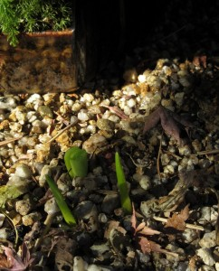 先の尖った二つの新芽は、日本水仙です!