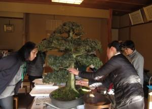 写真は真柏ではなく杜松(としょう)というヒノキ科の盆栽の舎利でご説明をしているところです。