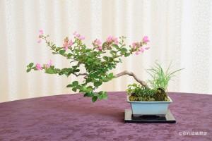 盆栽町本校:高橋 勝さん 銘「真夏の庭園」 植物名:サルスベリ・フウロソウ・ギボウシ 他
