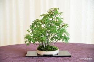 盆栽町本校:高橋 千代美さん 銘「風の声」 植物名:デショウジョウモミジ・ヤマモミジ