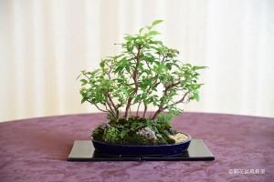 表参道校:東 正子さん 銘「凛とした静謐」 植物名:ヒメシャラ・タマリュウ・ヤクシマタツナミソウ 他