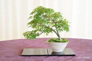 表参道校:中村 厚子さん 銘「木漏れ日にいざなわれて」 植物名:デショウジョウモミジ
