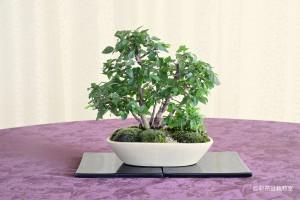 盆栽町本校:関寺 信一さん 銘「緑陰に憩こう」 植物名:イワシデ・アワモリショウマ