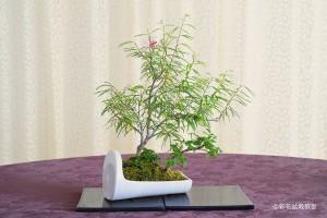 盆栽町本校:新藤 孝子さん 銘「合歓木に恋して」 植物名:ネム・スノキ・バイカオウレン 他