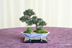 盆栽町本校:細野 恭子さん 銘「この木何の木」 植物名:シロシタン・バイカオウレン・フイリタマリュウ