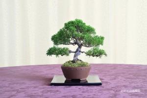 大宮そごう:塚田 里江子さん 銘「気になる樹・大きくなぁ~れ!」 植物名:シンパク