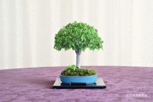 盆栽町本校:長谷川 純子さん 銘「私の記念樹」 植物名:ケヤキ・タツナミソウ