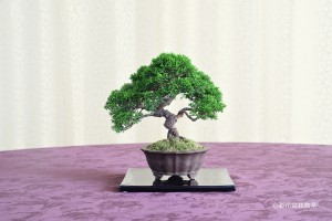 大宮そごう:内田 真由美さん 銘「誠心」 植物名:シンパク