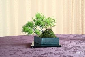 盆栽町本校:木村 ゆかりさん 銘「迎春」 植物名:アカマツ・ナンテン・キンメイチク