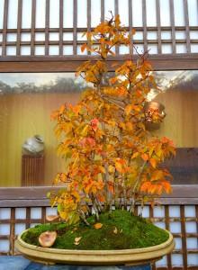 イワシデの盆栽。黄葉が見事です