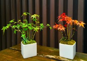 ほぼ同じ配置のモミジの盆栽