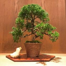 針金成形を終えた真柏の盆栽