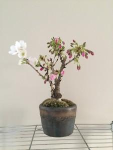 嶋田さんの桜1