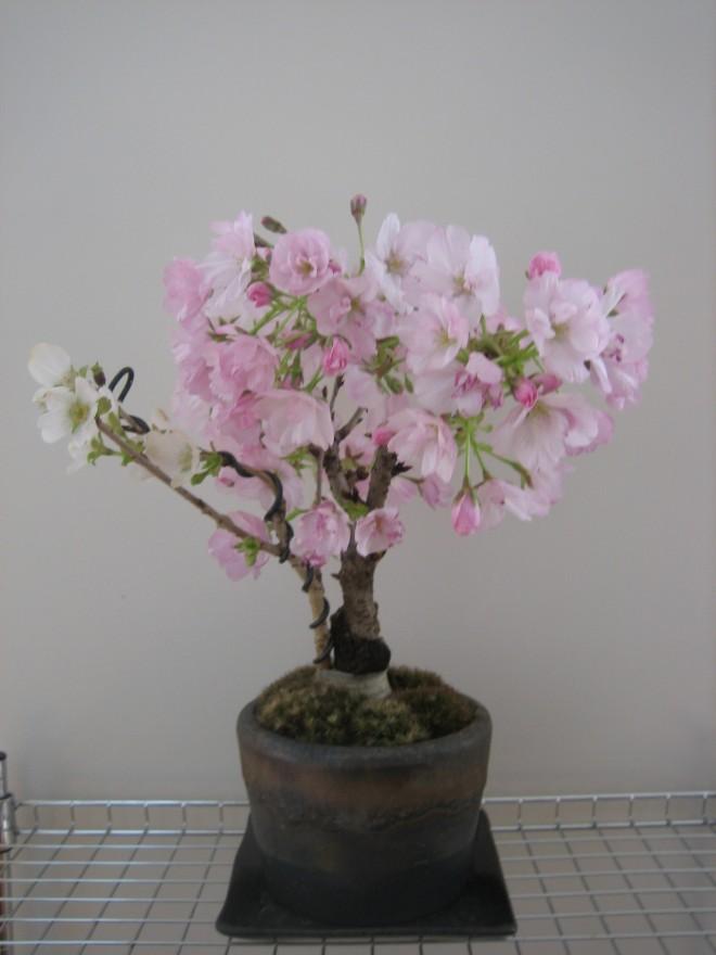 嶋田さんの桜2