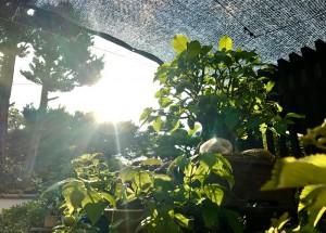 じりじりした暑さに夏らしさを感じます。がんばれ盆栽たち!