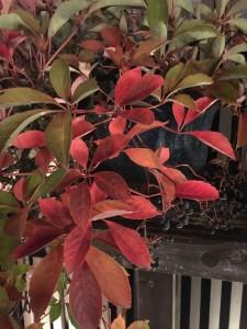 アメリカツタの盆栽も真っ赤に色づきました!