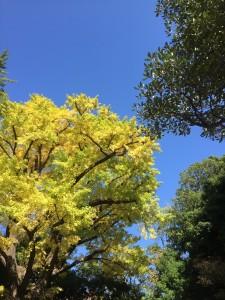 乳銀杏も色づいてきています。青空に映えますね!