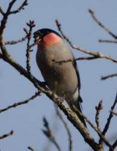 蕾が好きな「ウソ」という野鳥