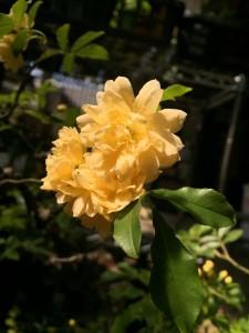 モッコウバラ お庭に植えていらっしゃる方も多いかもしれませんが、盆栽に仕立てることもできます!
