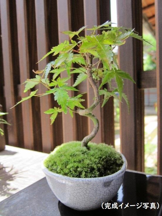 もみじの盆栽