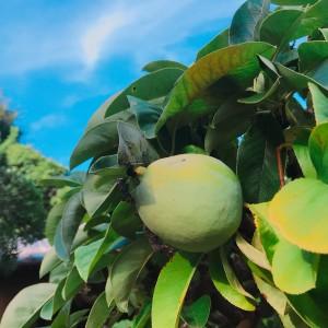 花梨の盆栽