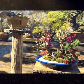 清香園の迎春盆栽は満開になりました✨