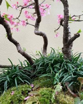 下草のタマリュウや苔に桜の花びらが舞い散りました