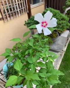白いムクゲの花が咲く盆栽