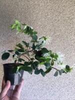 トキワマンサク(白花)