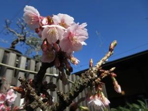 寒桜の花! ほっこりという表現がぴったりですよね^^7
